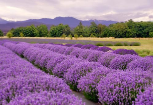 Sequim, WA lavender fields